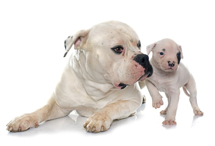 American Bulldog Everything You Need To Know