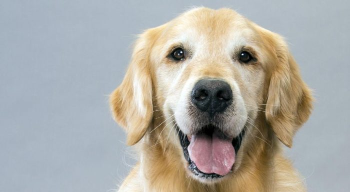 golden retrievers everything you need to know shield my pet