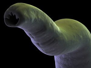 hookworms