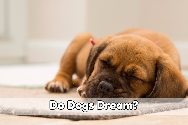 do-dogs-dream