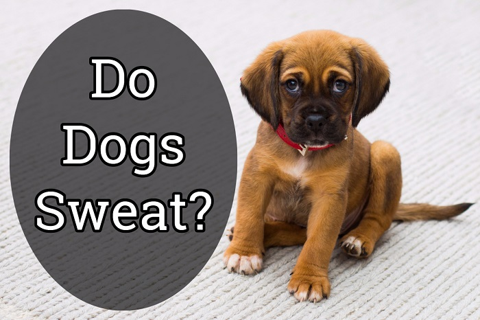 do dogs sweat